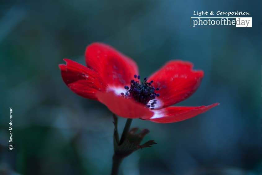 The Papaver Flower, by Bawar Mohammad