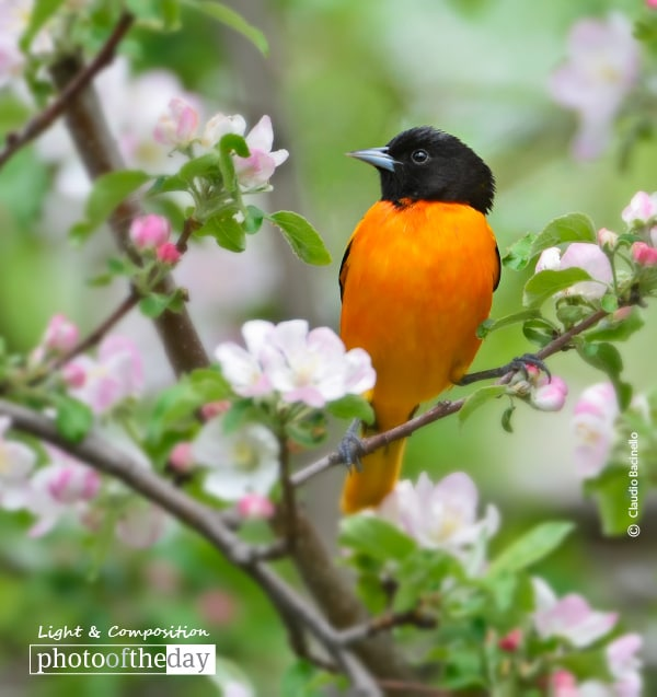 Oriole and Apple Blossoms, by Claudio Bacinello
