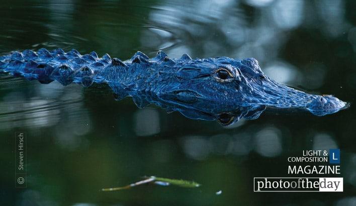 Florida Gator, by Steve Hirsch
