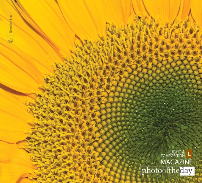 Sunflower, by Luca Renoldi