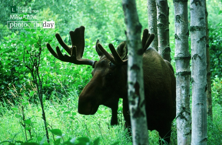 Bull Moose, by Ronnie Glover