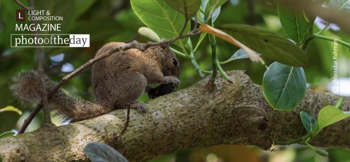 Irrawaddy Squirrel, by Masudur Rahman