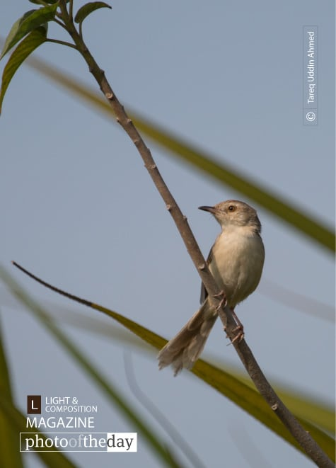 The Plain Prinia, by Tareq Uddin Ahmed