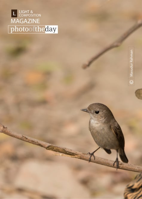 The Taiga Flycatcher, by Masudur Rahman