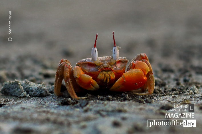 Red Crabs, by Shahnaz Parvin