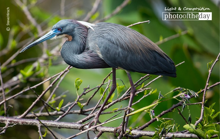 Great Blue, by Steve Hirsch