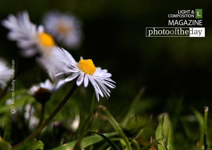Photographing Daisy, by Kurien Koshy Yohannan