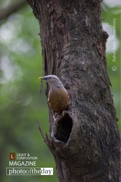 Starling's Nest, by Rahat Azim Chowdhury