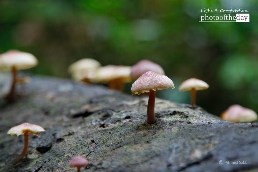 The Mushroom, by Ahmed Sabbir