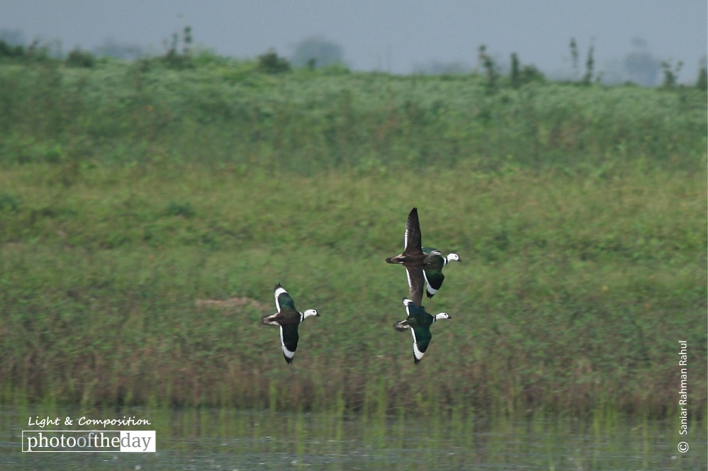 Cotton Pigmy Goose, by Saniar Rahman Rahul