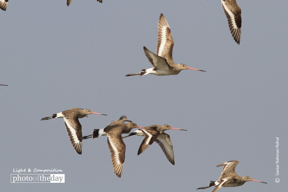 Black tailed Godwit, by Saniar Rahman Rahul