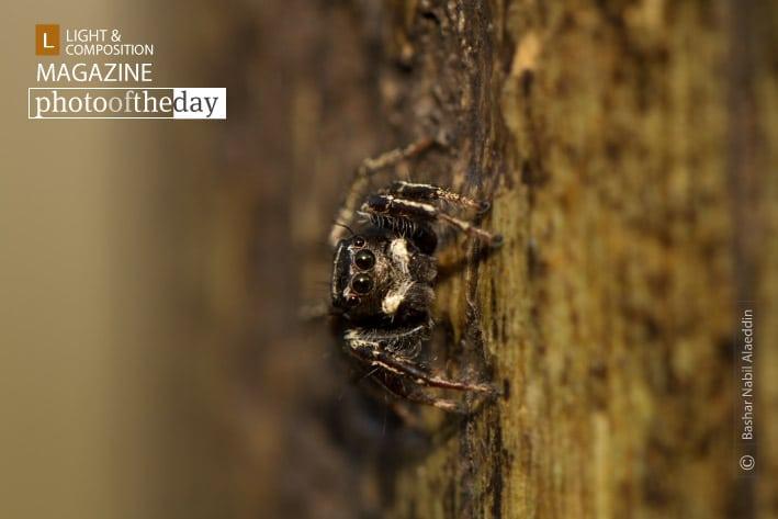 Posing Spider, by Bashar Alaeddin