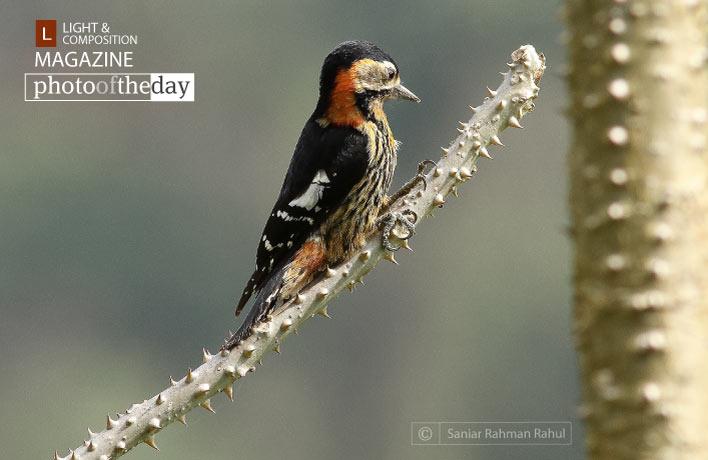 Crimson Breasted Woodpecker, by Saniar Rahman Rahul