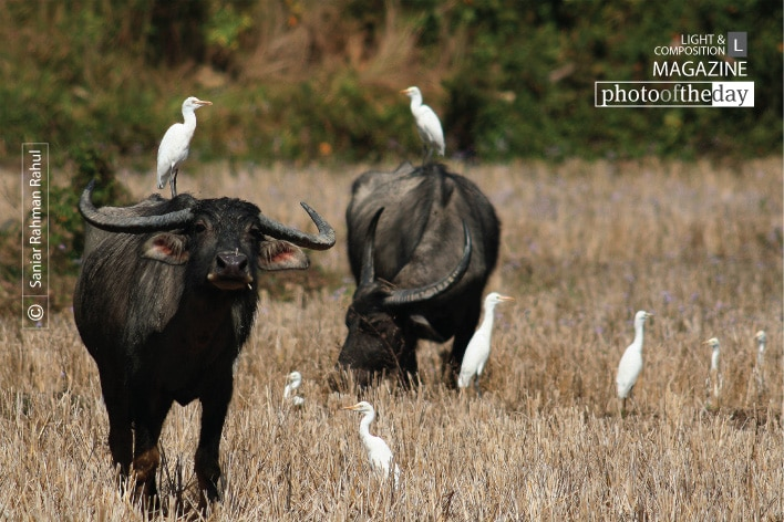 Cattle Egret and Buffalo, by Saniar Rahman Rahul