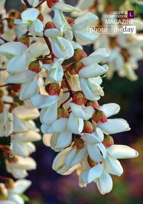 Acacia Blossom from Diyarbakir, by Mehmet Masum