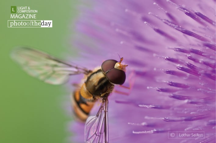 A fly on a Flower, by Lothar Seifert