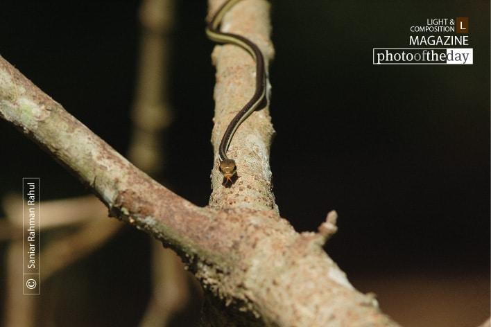 The Snake on the Branch, by Saniar Rahman Rahul