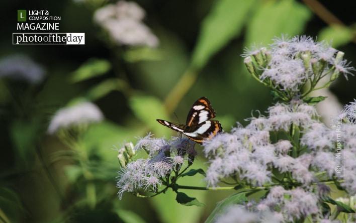 A Butterfly of Raimatang, by Nirupam Roy