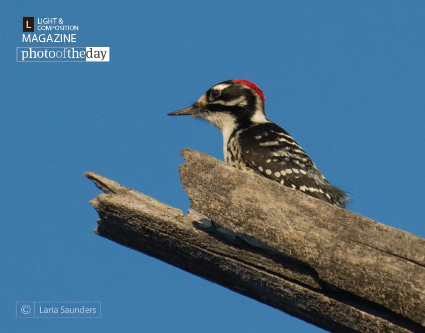 Acorn Woodpecker, by Laria Saunders