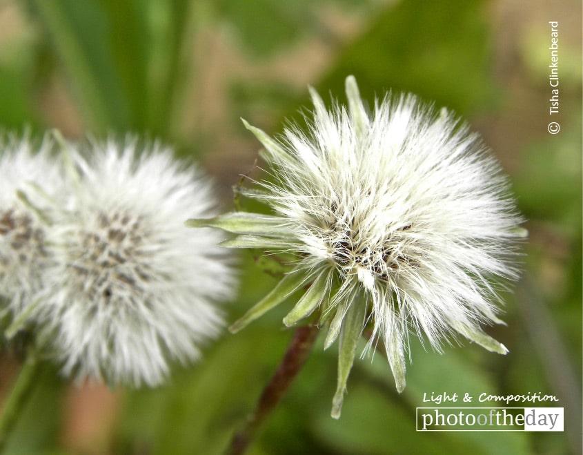 To Wish upon a Dandelion, by Tisha Clinkenbeard