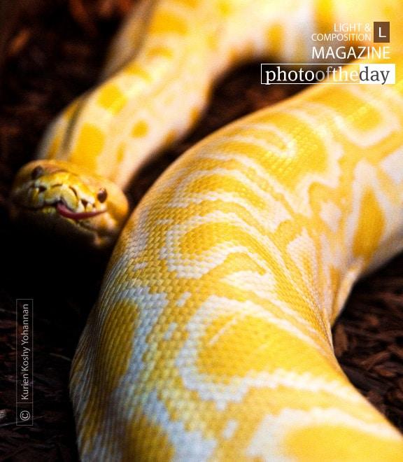 Albino Python, by Kurien Koshy Yohannan