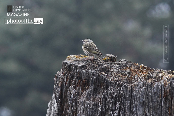 Olive-backed Pipit, by Saniar Rahman Rahul