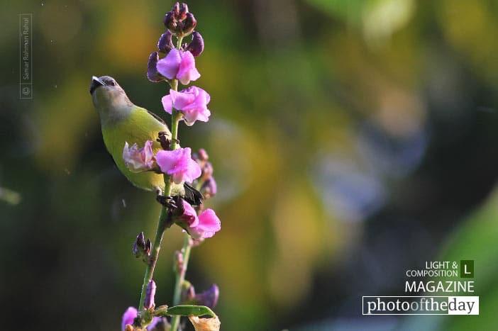 Purple Rumped Sunbird, by Saniar Rahman Rahul