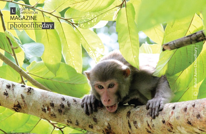 Rhesus Monkey, by Rahat Azim Chowdhury
