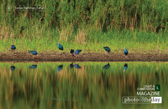 Purple Swamphen in Reflect, by Saniar Rahman Rahul