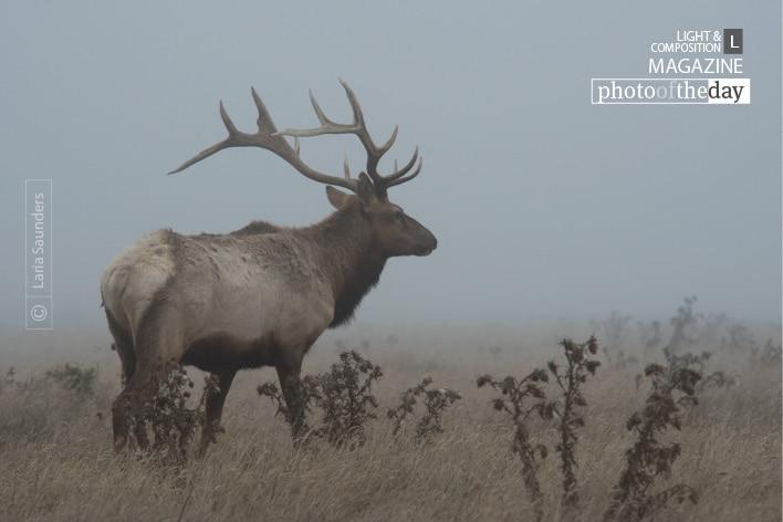 Point Reyes Elk, by Laria Saunders