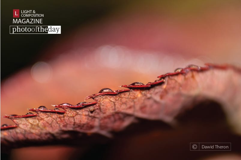 The Edge of a Rose's Foliage, by Dawid Theron