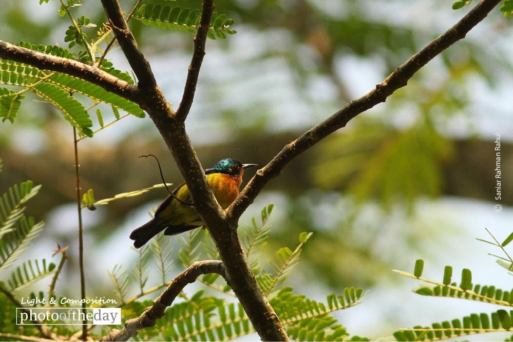 Ruby-cheeked Sunbird, by Saniar Rahman Rahul