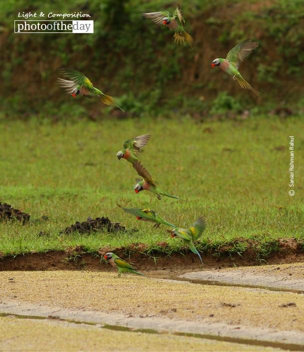 Red-breasted Parakeet, by Saniar Rahman Rahul