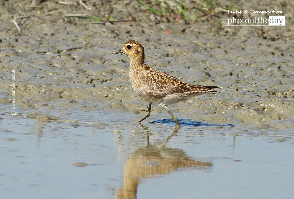 Pacific Golden Plover, by Saniar Rahman Rahul