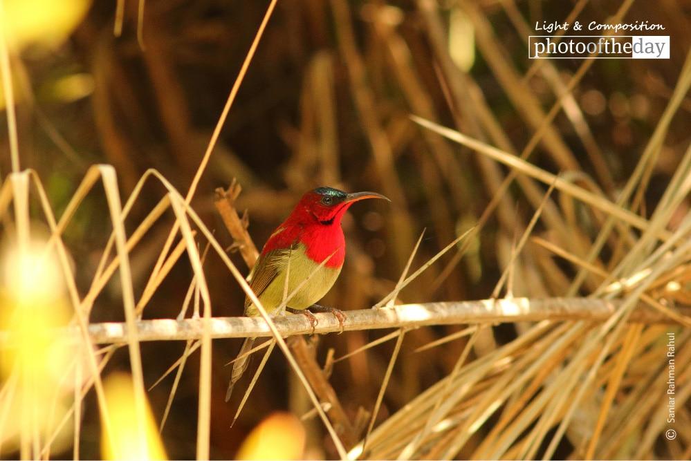Crimson Sunbird, by Saniar Rahman Rahul