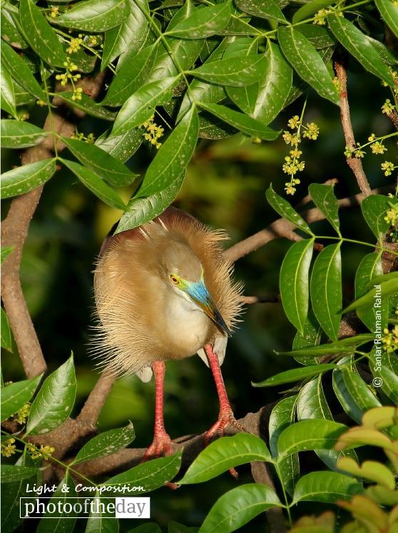 Pond Heron, by Saniar Rahman Rahul