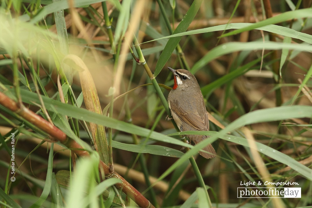 Siberian Rubythroat, by Saniar Rahman Rahul