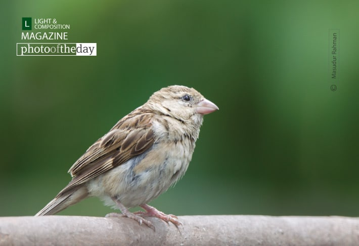 The House Sparrow, by Masudur Rahman