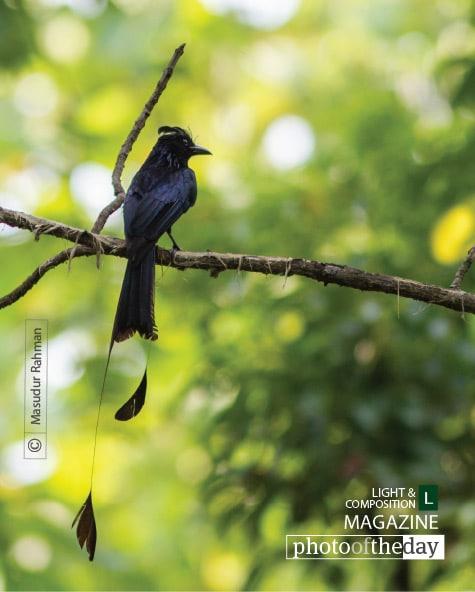 The Greater Racket-tailed Drongo, by Masudur Rahman