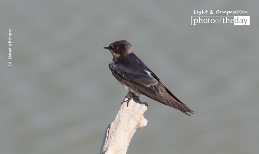 The Barn Swallow, by Masudur Rahman