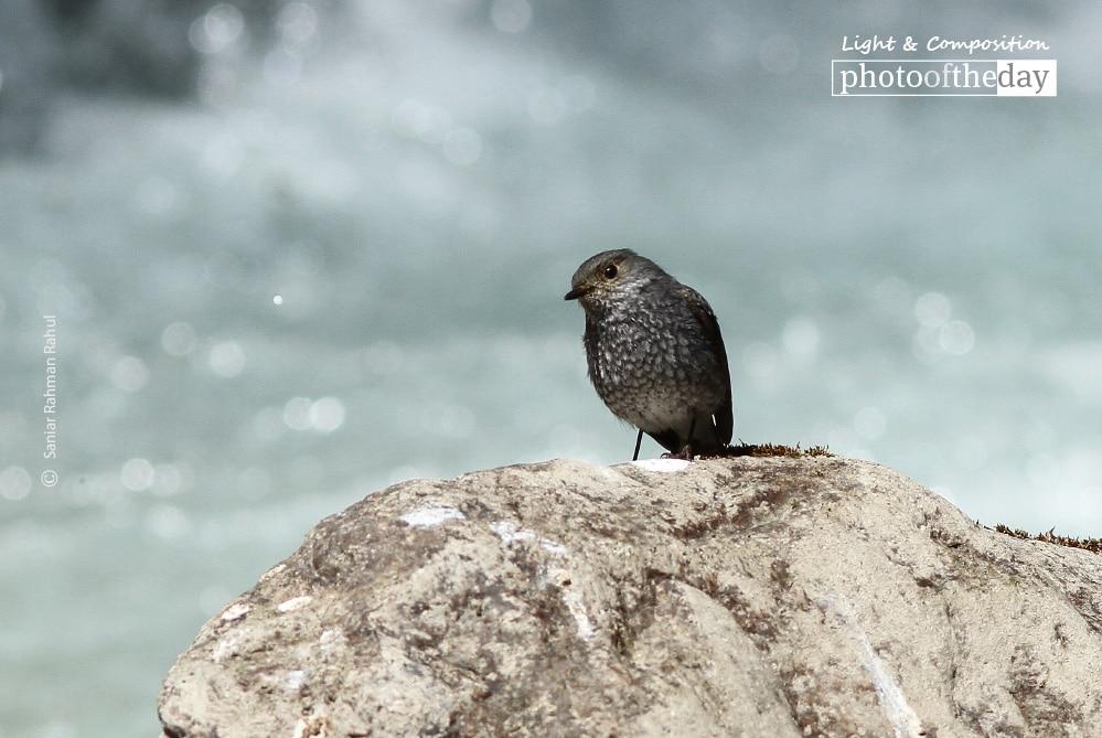 Female Plumbeous Water Redstart, by Saniar Rahman Rahul