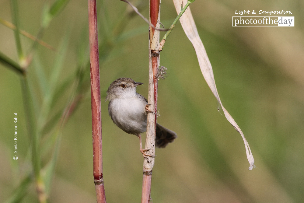 Graceful Prinia, by Saniar Rahman Rahul