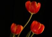 Tulips, by Ana Sylvia Encinas