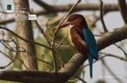 Basking White-Throated Kingfisher, by Masudur Rahman