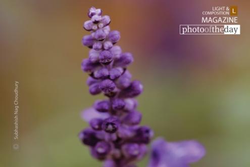 The Beauty of the Flower, by Subhashish Nag Choudhury