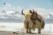 Portrait of a Yak, by Shirren Lim