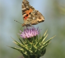 Painted Lady on Thistle, by Bawar Mohammad