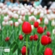 Lonely Tulip, by Mazhar Hossain