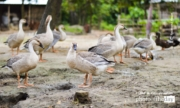 Royal Local Geese, by Rezawanul Haque