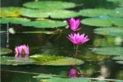 Water Lilies, by Masudur Rahman